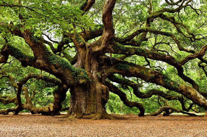 Oak tree enormous